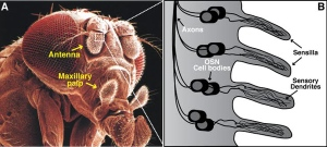 Semana - 1250 - 5 Drosophila olfactory