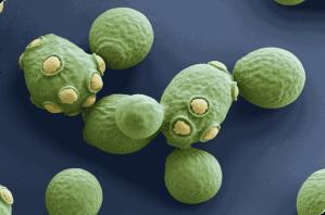 Semana - 1251 - 1 Saccharomyces cerevisiae