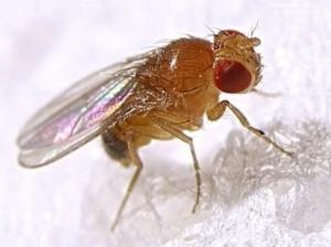 Semana - 1305 - 4 Drosophila