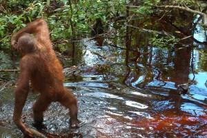 Semana - 1306 - 1 Peatland swamp