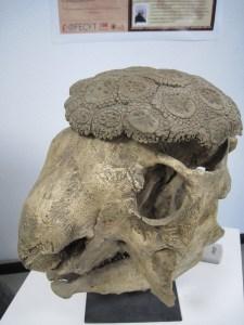 Semana - 1307 - 1 Glyptodonte - Xenarthra
