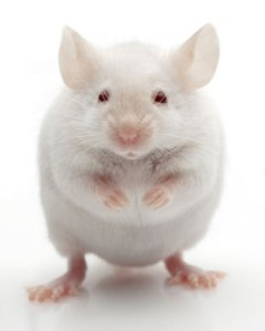 Semana - 1307 - 4 Ratón obeso