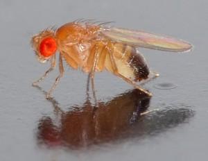 Semana - 1318 - 1 Drosophila