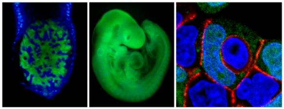 Semana - 1332 - 3 Células embrionarias