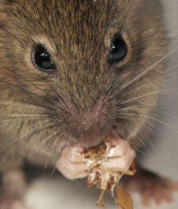 Semana - 1340 - 1 Ratón comiendo