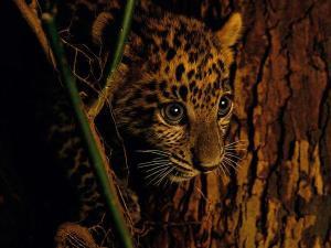 Semana -1403 - 0 Leopardo