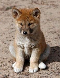 Semana -1403 - 1 Dingo