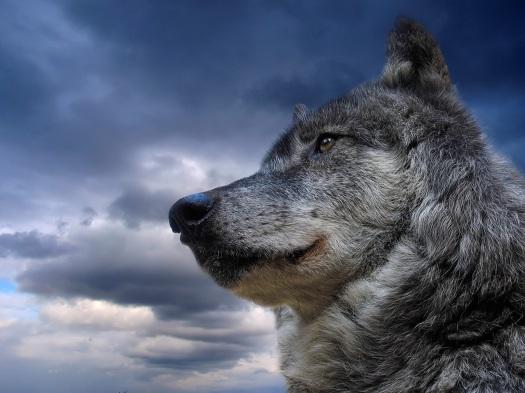 Semana -1403 - 3 Lobo gris