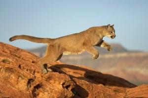 Semana -1403 - 4 Puma