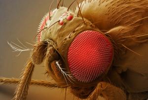 Semana -1406 - 1 Drosophila