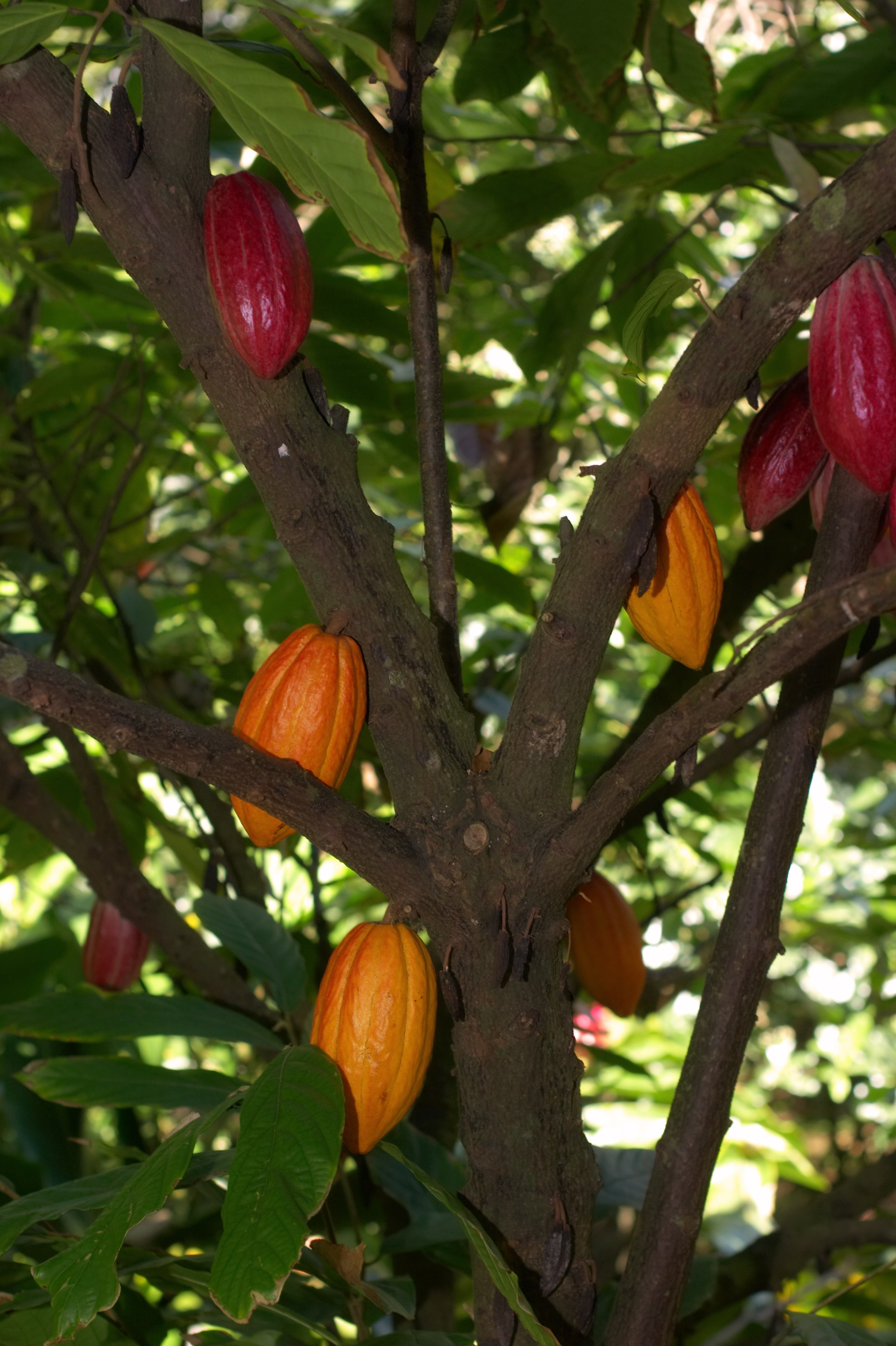 chocolate and the cacao plant essay How to make chocolate from scratch too bad they had to cut that beautiful plant down when they had to renovate the no this is theobroma cacao - chocolate.