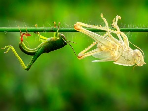 A  grasshopper on a grass stalk emerges from its old skin